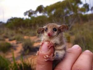 pygmy Possum Mount Kosciuszko